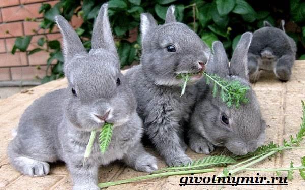 Кролик рекс. Образ жизни и среда обитания кроликов рекс Животный мир