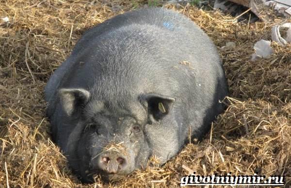 Как понять что вьетнамская свинья беременна