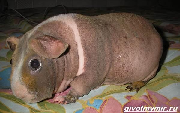 Все о уходе за свиньями