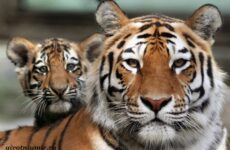 Амурский тигр. Образ жизни и среда обитания амурского тигра
