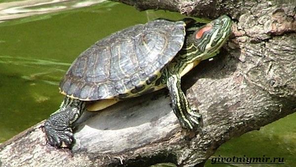 Красноухая-черепаха-1