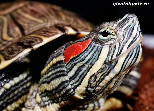 Красноухая-черепаха-2
