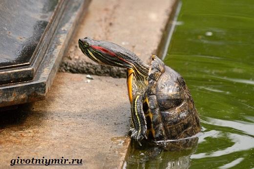 Красноухая-черепаха-3