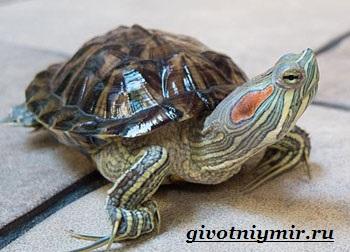 К какому виду относятся красноухие черепахи