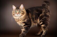 Курильский бобтейл кошка. Описание, особенности, уход и цена курильского бобтейла