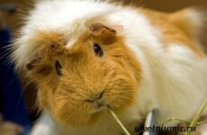Морская свинка. Описание, особенности, уход и цена за морскими свинками