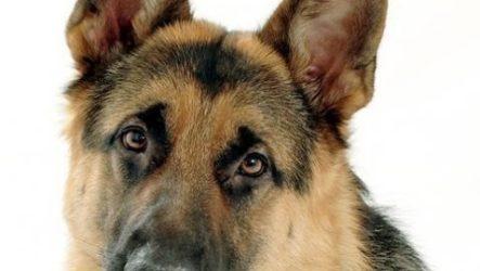 Немецкая овчарка собака. Описание, особенности, уход и цена немецкой овчарки