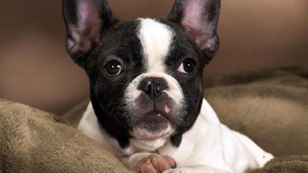 Французский бульдог собака. Описание, особенности, уход и цена французского бульдога
