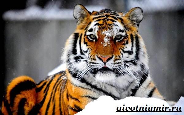 Амурский-тигр-1