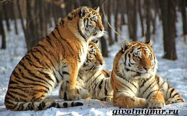 Амурский-тигр-2