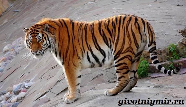 Амурский-тигр-5