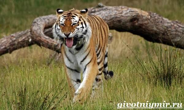 Амурский-тигр-6