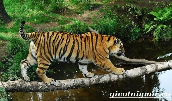 Амурский-тигр-7