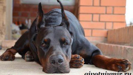Доберман собака. Описание, особенности, уход и цена породы доберман