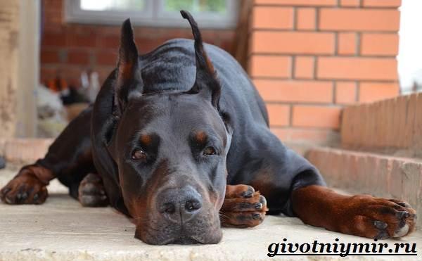 Доберман-собака-Описание-особенности-уход-и-цена-породы-доберман-1