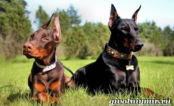 Доберман-собака-Описание-особенности-уход-и-цена-породы-доберман-3