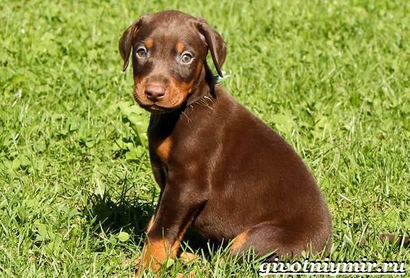 Доберман-собака-Описание-особенности-уход-и-цена-породы-доберман-9