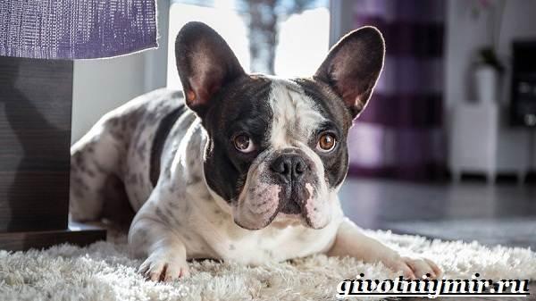 Французский-бульдог-собака-Описание-особенности-уход-и-цена-французского-бульдога-11