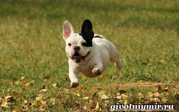 Французский-бульдог-собака-Описание-особенности-уход-и-цена-французского-бульдога-4
