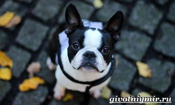 Французский-бульдог-собака-Описание-особенности-уход-и-цена-французского-бульдога-5