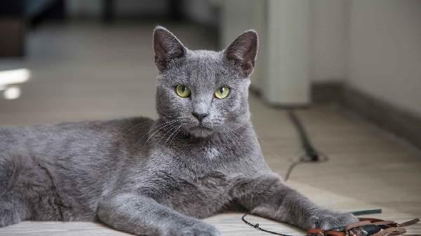 Голубая-кошка-Описание-особенности-и-виды-голубых-кошек-1