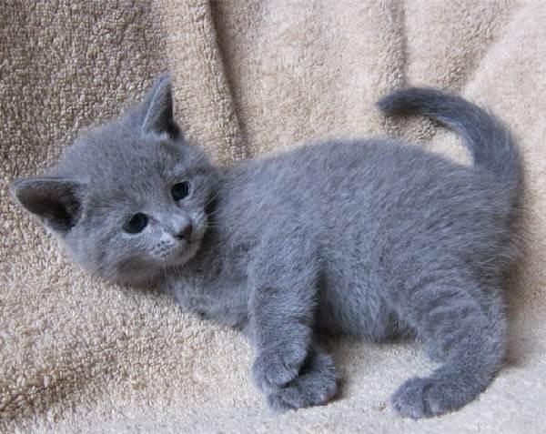 голубая кошка описание