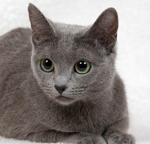 Голубая-кошка-Описание-особенности-и-виды-голубых-кошек-3
