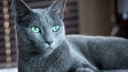 Голубая кошка. Описание, особенности и виды голубых кошек