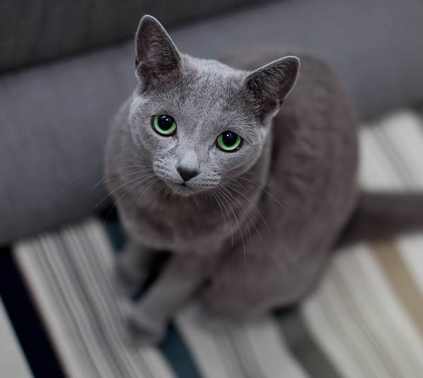 Голубая-кошка-Описание-особенности-и-виды-голубых-кошек-5