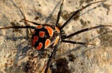 Каракурт паук. Описание, особенности и среда обитания каракурта