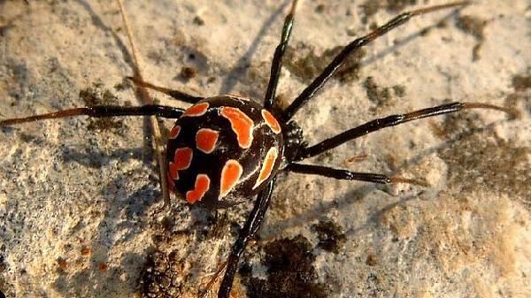 Каракурт-паук-Описание-особенности-и-среда-обитания-каракурта-7