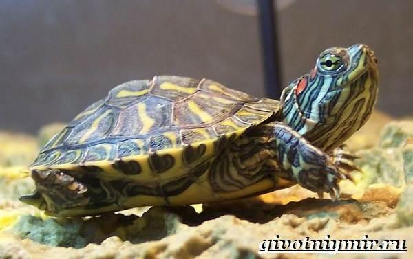 Красноухая-черепаха-Описание-особенности-уход-и-цена-красноухой-черепахи-1