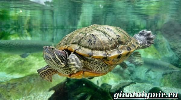 Красноухая-черепаха-Описание-особенности-уход-и-цена-красноухой-черепахи-10