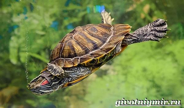 Красноухая-черепаха-Описание-особенности-уход-и-цена-красноухой-черепахи-11