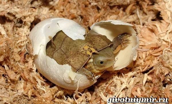 Красноухая-черепаха-Описание-особенности-уход-и-цена-красноухой-черепахи-14