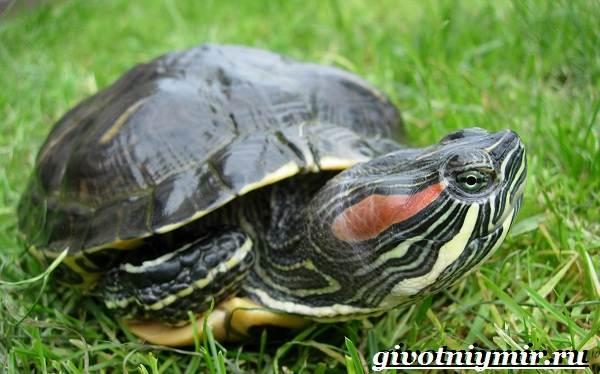 Красноухая-черепаха-Описание-особенности-уход-и-цена-красноухой-черепахи-15