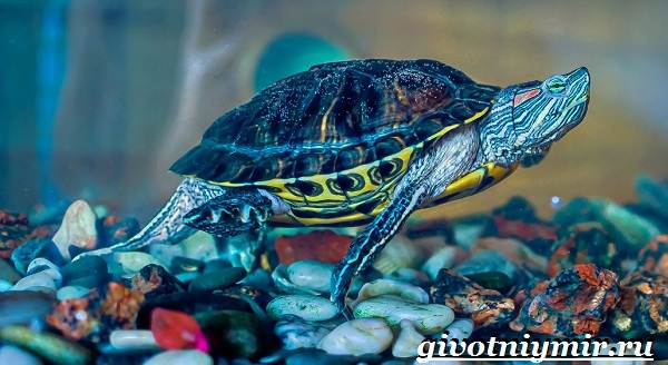Красноухая-черепаха-Описание-особенности-уход-и-цена-красноухой-черепахи-2