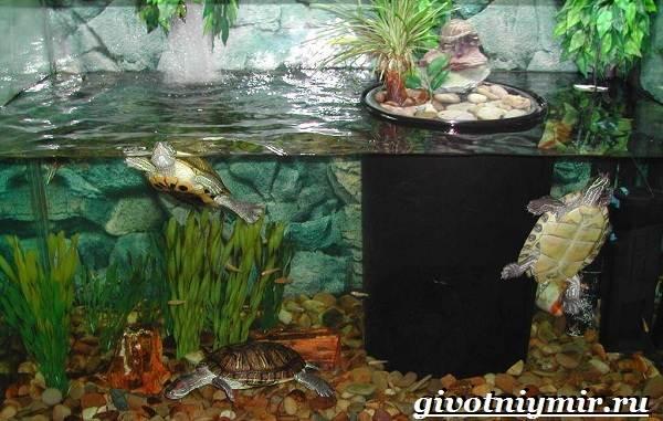 Красноухая-черепаха-Описание-особенности-уход-и-цена-красноухой-черепахи-3