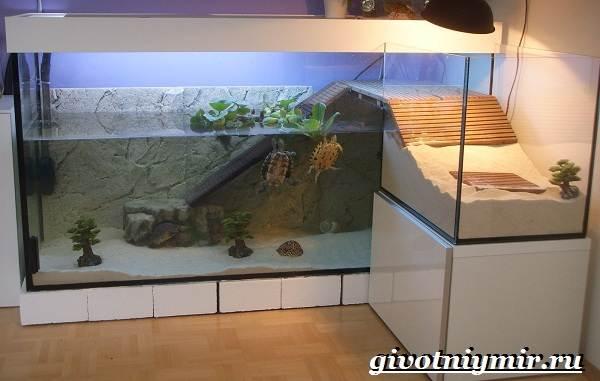Красноухая-черепаха-Описание-особенности-уход-и-цена-красноухой-черепахи-4