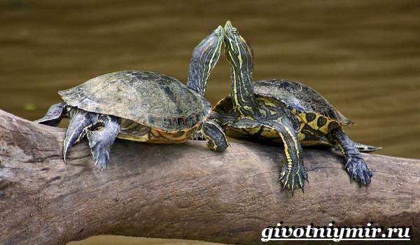 Красноухая-черепаха-Описание-особенности-уход-и-цена-красноухой-черепахи-5