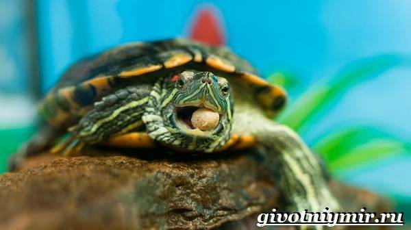 Красноухая-черепаха-Описание-особенности-уход-и-цена-красноухой-черепахи-6