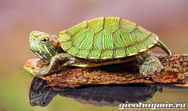 Красноухая-черепаха-Описание-особенности-уход-и-цена-красноухой-черепахи