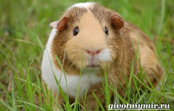 Морская-свинка-Описание-особенности-уход-и-цена-за-морскими-свинками-11