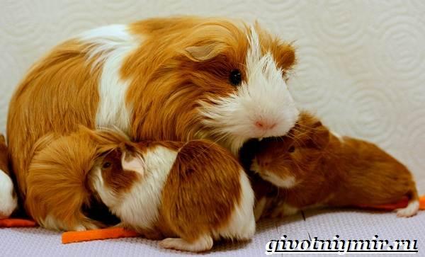 Морская-свинка-Описание-особенности-уход-и-цена-за-морскими-свинками-13