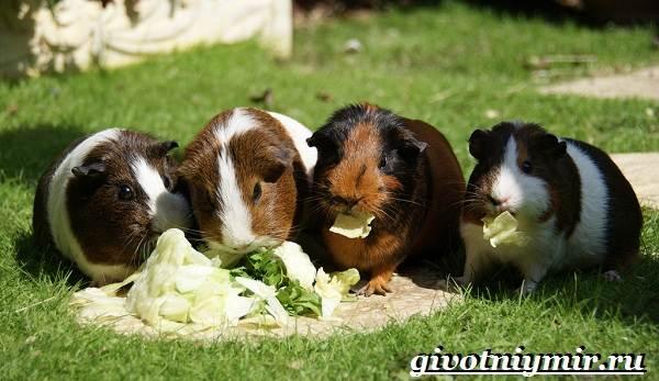 Морская-свинка-Описание-особенности-уход-и-цена-за-морскими-свинками-21