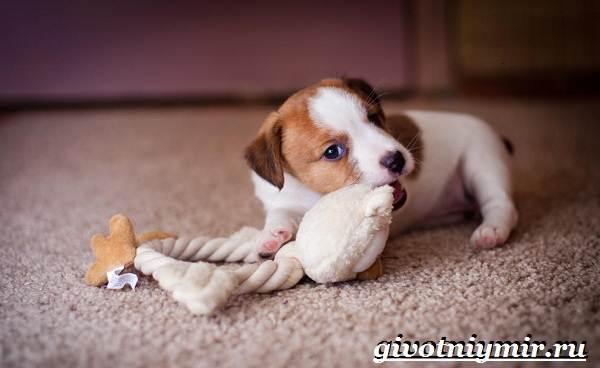 Рассел-терьер-собака-Описание-особенности-уход-и-цена-рассел-терьера-1