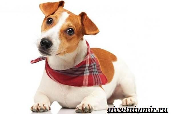 Рассел-терьер-собака-Описание-особенности-уход-и-цена-рассел-терьера-10