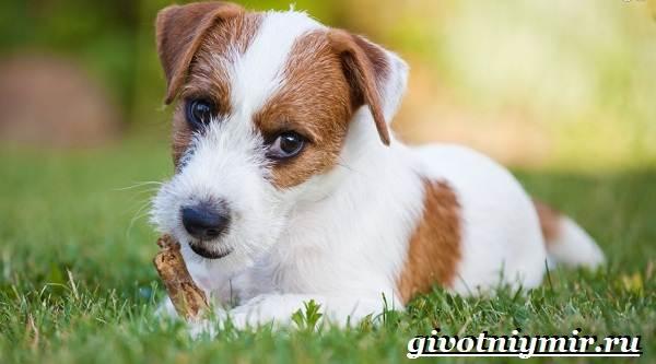 Рассел-терьер-собака-Описание-особенности-уход-и-цена-рассел-терьера-2