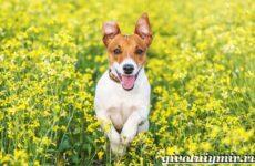 Рассел терьер собака. Описание, особенности, уход и цена рассел терьера