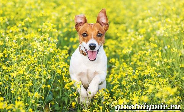 Рассел-терьер-собака-Описание-особенности-уход-и-цена-рассел-терьера-3